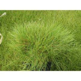 Nålgräs