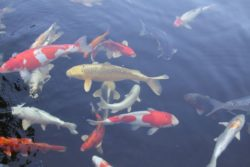 Koi_karp_fisk_vattenliv