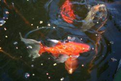 guldfisk_fisk_vattenliv