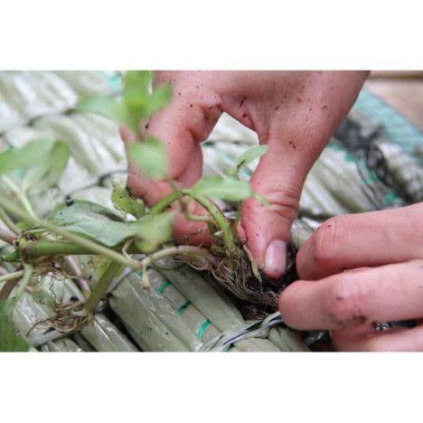 Planteringsö, plantering