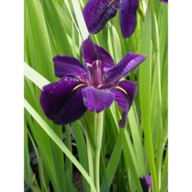 Amerikansk iris Black gamecock