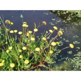 Cotula coronopifolia, vattencotula