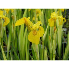 Iris pseudacorus, gul svärdslilja