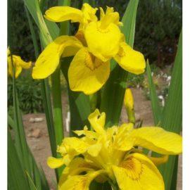 Iris pseudacorus, Flora Pleno