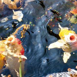 Fiskskötsel